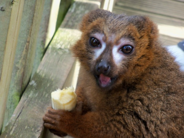 A lemur at Woburn Safari Park, clutching a pilfered banana