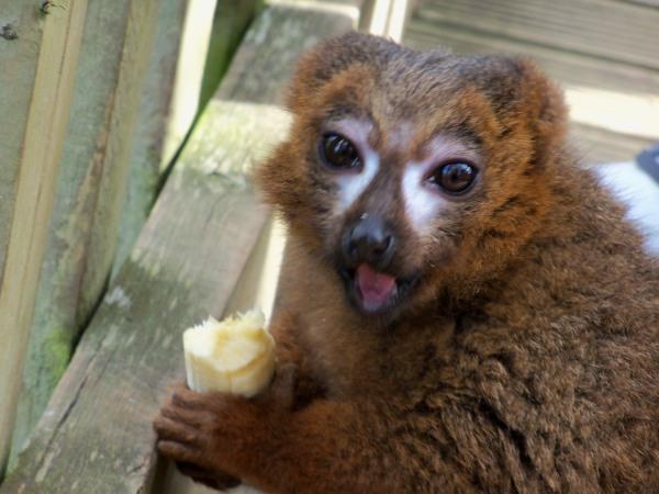 A lemur at Woburn Safari Park, clutching a pilfered banana