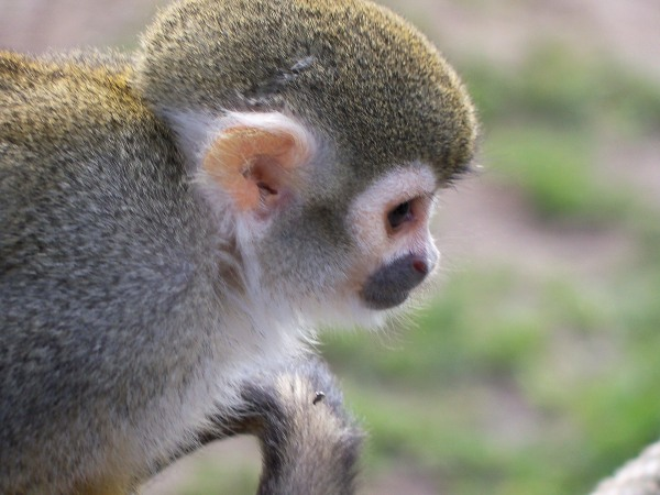 A squirrel monkey photographed at Woburn Safari Park