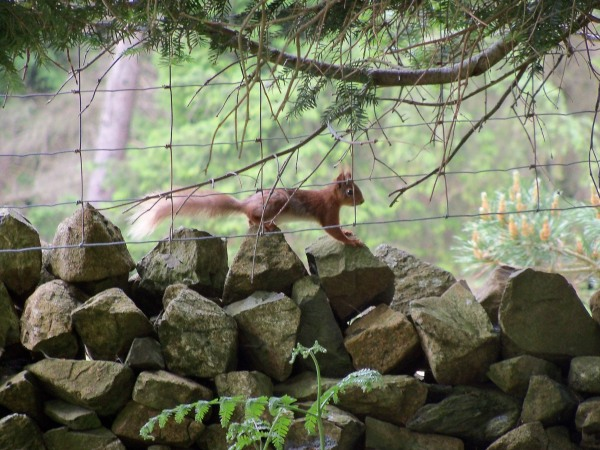 A red squirrel in the Lake District