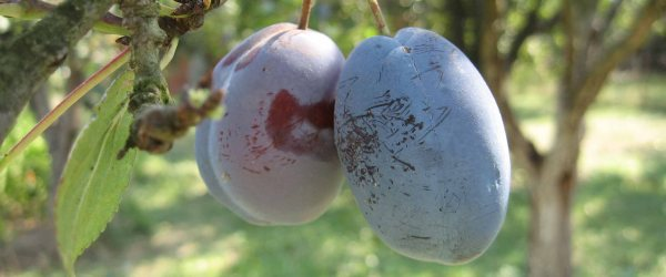 A lovely pair of plums